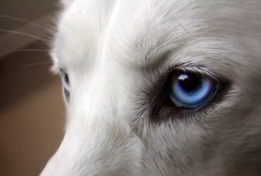 Проптоз у собак