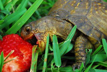 Правильный рацион сухопутной черепахи