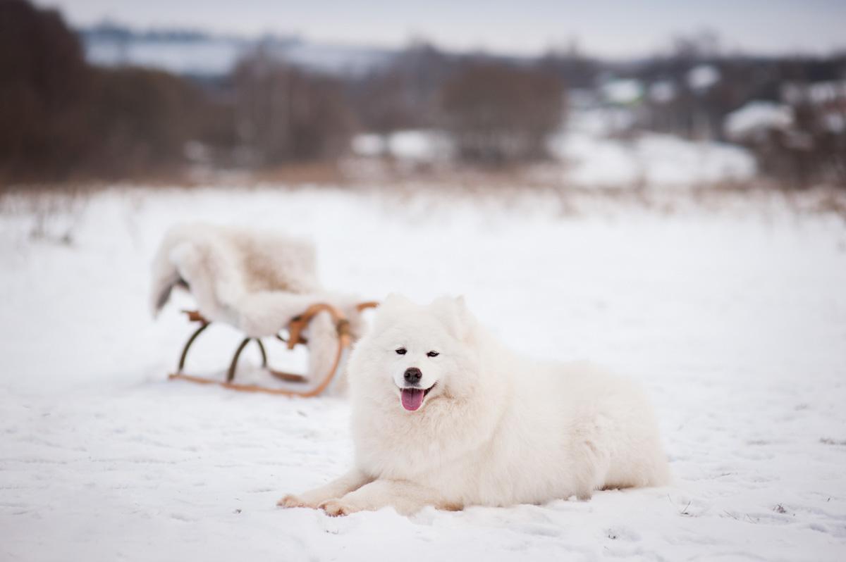 Самоедская собака (самоед) Юлона Нежная или просто Лайма, 6 лет