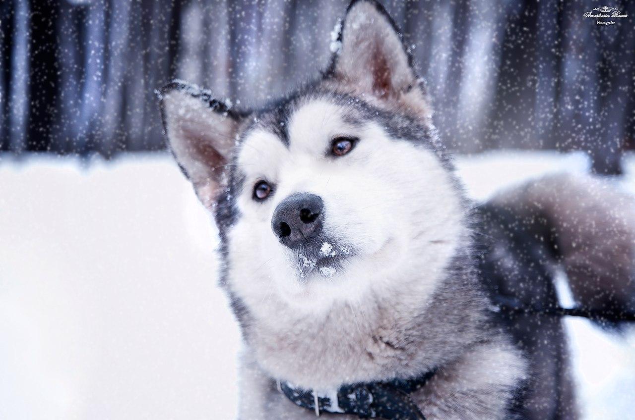 Аляскинский маламут Кэтти - 3 года