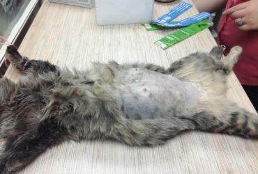 Стерилизация кошки: плюсы и минусы