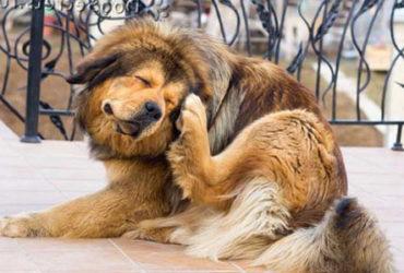 Власоеды у собак: признаки появления и способы лечения