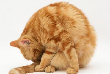Течка у кошки: все, что нужно знать владельцам