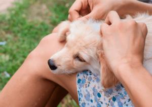 Как понять что собака заразилась боррелиозом?