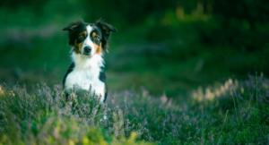 Как пёс может заразиться боррелиозом?