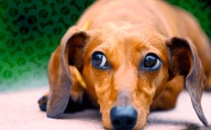 Признаки дископатии у собак