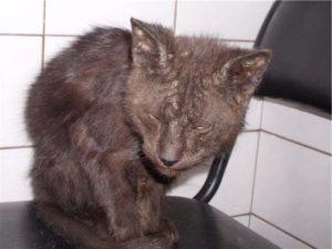 признаки чесотки у кошек