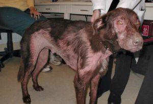 поражения кожи у собак