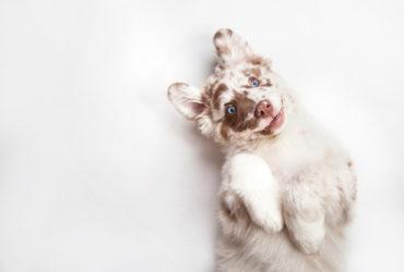 Дисплазия суставов у собак, особенности заболевания