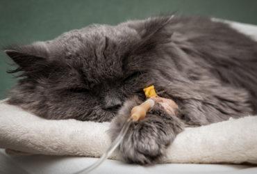 Панлейкопения у кошек.