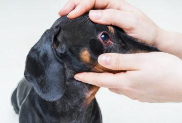 Нагноения глаз у собак, причины появления и оказание помощи