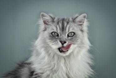 Повышенное слюноотделение у котов: причины появления и лечение