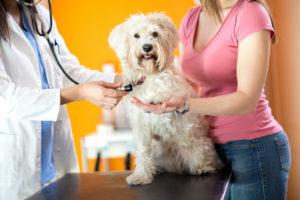 Как происходит лечение геморрагии у собак