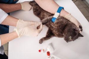 Для этого специалист-ветеринар должен взять анализ крови и мочи кошки.