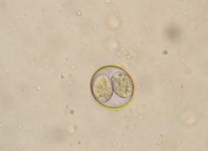 Возбудителями кокцидиоза являются простейшие микроорганизмы.