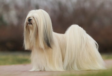 Причины линьки у собак.