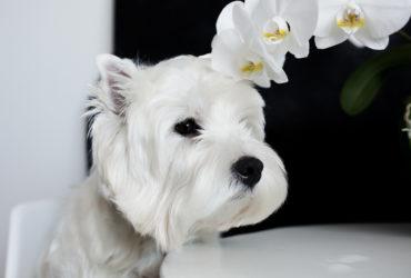 Что важно знать, ухаживая за собаками с белой шерстью?
