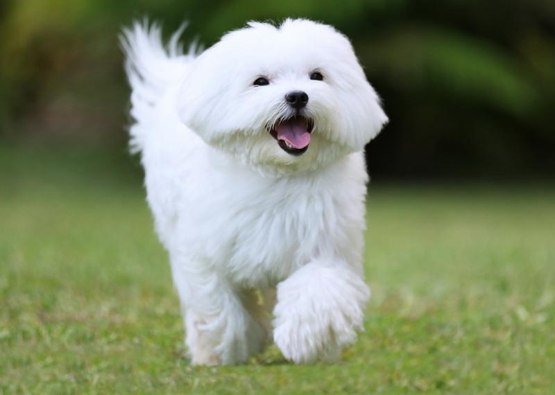 Особенность собак с белой шерстью - аллергия.