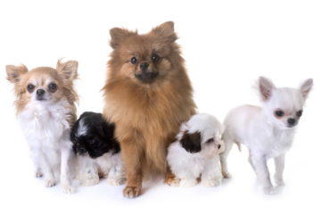 Болезни мелких пород собак, о которых должен знать каждый хозяин