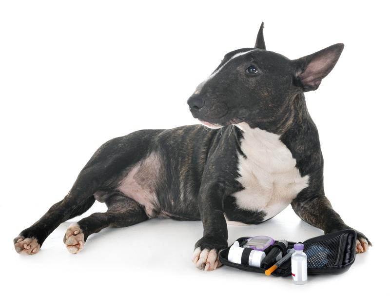 Гипогликемия у собак - своевременное обнаружение и помощь.