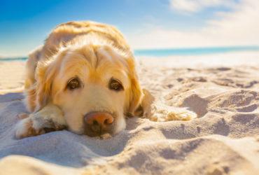 Тепловой удар у собаки и ее спасение