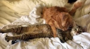 Кошки метят территорию для привлечения самцов