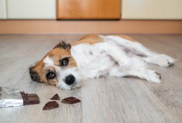 Почему из рациона собак следует исключить шоколад?