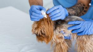 Способы лечения ушного клеща у собак