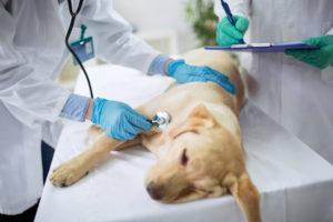 Первая помощь при инсульте у собаки