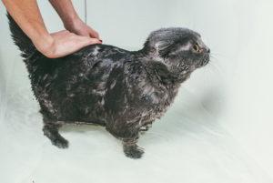 Гигиенические процедуры помогут избежать проблем с лапами у кошек.