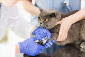 Избежать проблем у кошек с вросшим ногтем можно избежать проводя тримминг когтей.