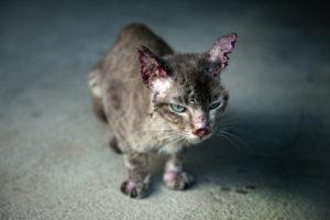 От чего возникает некроз ушных раковин у котов