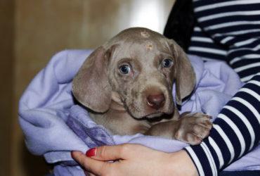 Стафилококк распространенное и очень опасное инфекционное заболевание у собак