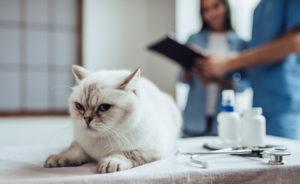 Хозяин кошки должен внимательно следить за состоянием животного.