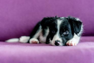 Что необходимо знать о чумке у собак?