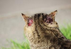 При механических воздействиях на ушную раковину, куда включаются укусы насекомых, сильные расчесывания или другие деструктивные воздействия, она может поражаться, что тоже вызывает гниение ушей