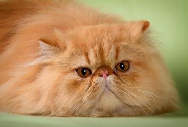 Почему у кошек возникает заворот кишок. Диагностика проблемы и ее лечение
