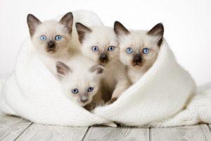 В группе риска по коронавирусу самые малые котята, до годовалого возраста, и старые особи, пережившие порог в 11-12 лет.