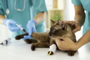 Для диагностики коронавируса у кошки проводят анализы в ветеринарной клинике