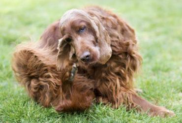 Основные симптомы стригущего лишая у собак, а также методы лечения