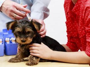 Вакцинация собаки от бешенства решит проблему с заболеванием кардинально