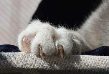 Как помочь кошке, если в лапу врос коготь?